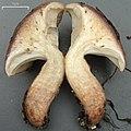 Gomphidius smithii Singer 282509.jpg