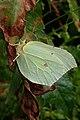 Gonepteryx rhamni (36872137425).jpg