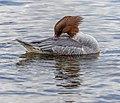 Goosander, Lake Windermere, England 02.jpg