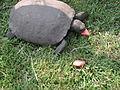 Gopher tortoise eating watermelon.jpg