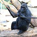 Gorilla Tierpark Hellabrunn-16.jpg