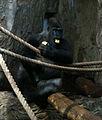 Gorilla at Warsaw Zoo.jpg