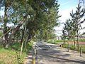 Goyu Pine Tree-Lined Street - Avenue2.jpg