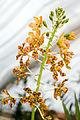 Grammatophyllum speciosum - Internationale Orchideen- und Tillandsienschau Blumengärten Hirschstetten 2016 b.jpg