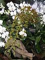 Grammatophyllummultiflorumjf9215 01.JPG
