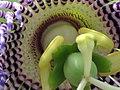 Granadilla (Passiflora ligularis) - Flickr - Alejandro Bayer (5).jpg