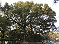 Grand camphor tree in Kora Grand Shrine.jpg