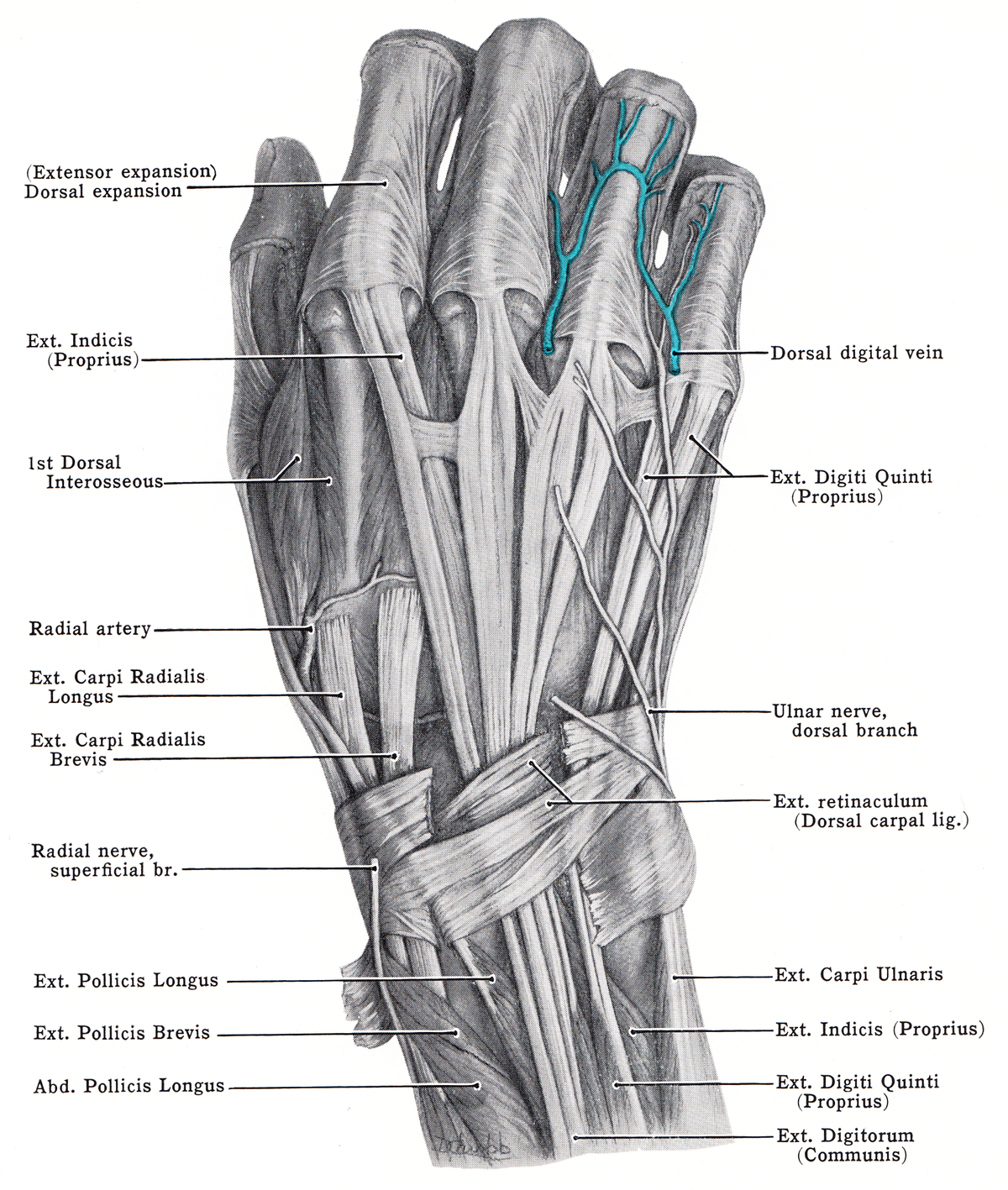 Extensor expansion - Wikipedia