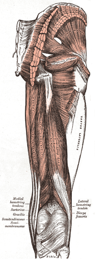 Greater trochanter - Same point of view as above of right femur from behind. Greater trochanter is labeled at right.