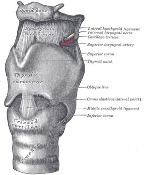 Kurkunpää Anatomia