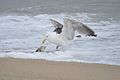 Great Black-Backed Gull Eating Flounder (5975058014).jpg