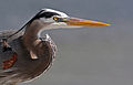 Great Blue Heron Portrait.jpg