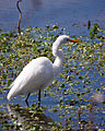 Great Egret Wades in 40 Acre Lake, Brazos Bend State Park.jpg