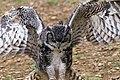 Great Horned Owl 1a (6019213471).jpg