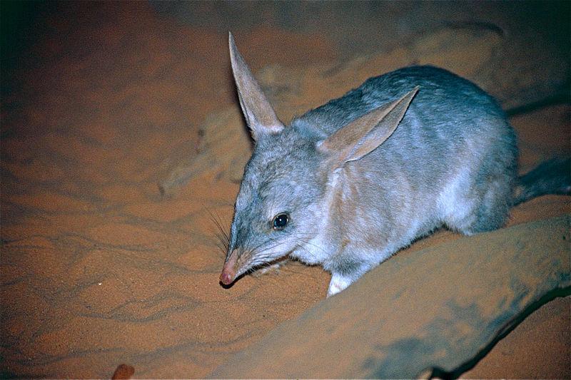 Bilby mamiferos extintos