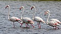 Greater Flamingo, Phoenicopterus roseus at Marievale Nature Reserve, Gauteng, South Afr (23293886472).jpg