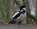 Greater Spotted Woodpecker 4 (6823846970).jpg