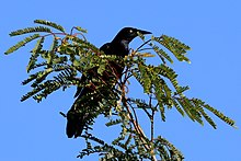 Greater antillean grackle (Quiscalus niger gundlachii).JPG