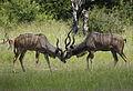 Greater kudu, Tragelaphus strepsicerosm - bulls locking horns in Kruger Park (20225837242).jpg