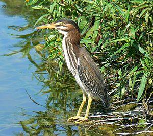 Schramm Park State Recreation Area - Image: Green Heron 4