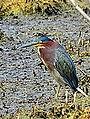 Green Heron (7714198186).jpg