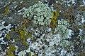Green Rock-Posy, etc. (2971738565).jpg