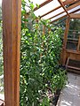 Greenhouse in Berkeley Cottage Garden 22.jpg