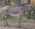 Grevys zebra (4531327570).jpg