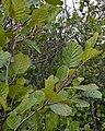 Grey Alder (Alnus incana) - Oslo, Norway 2020-09-05.jpg