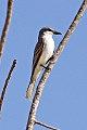 Grey Kingbird (Tyrannus dominicensis) (8082771261).jpg