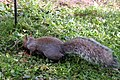 Grey Squirrel 3832 (5132769468).jpg