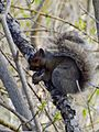 Grey Squirrel and Nut (13954447757).jpg
