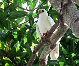 Grey goshawk - White morph