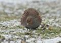 Grey partridge (46454508985).jpg