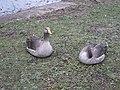 Greylag gooses at Hyde Park.JPG