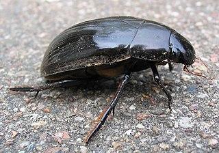 Vodomil čierny (Hydrophilus  piceus)