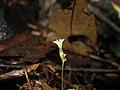 Gymnosiphon bekensis Korup National Park Cameroon IMG 1736 2.JPG