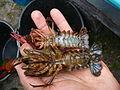 Harilik jõevähk (Astacus astacus) isane ja emane isend.JPG