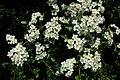Hawthorn blossom - geograph.org.uk - 1333556.jpg