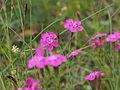 Heide-Nelke (Dianthus deltoides) (3).JPG