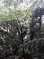Helecho Arboreo en Cerro Santa Ana, Paraguaná.jpg