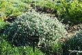 Helichrysum pandurifolium - Jardín Botánico de Barcelona - Barcelona, Spain - DSC09250.JPG