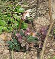 Helleborus Emma - Flickr - peganum (4).jpg