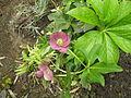 Helleborus purpurescens Purple Christmas Rose ხარისძირა.jpg