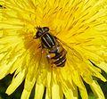 Helophilus pendulus. Female - Flickr - gailhampshire.jpg