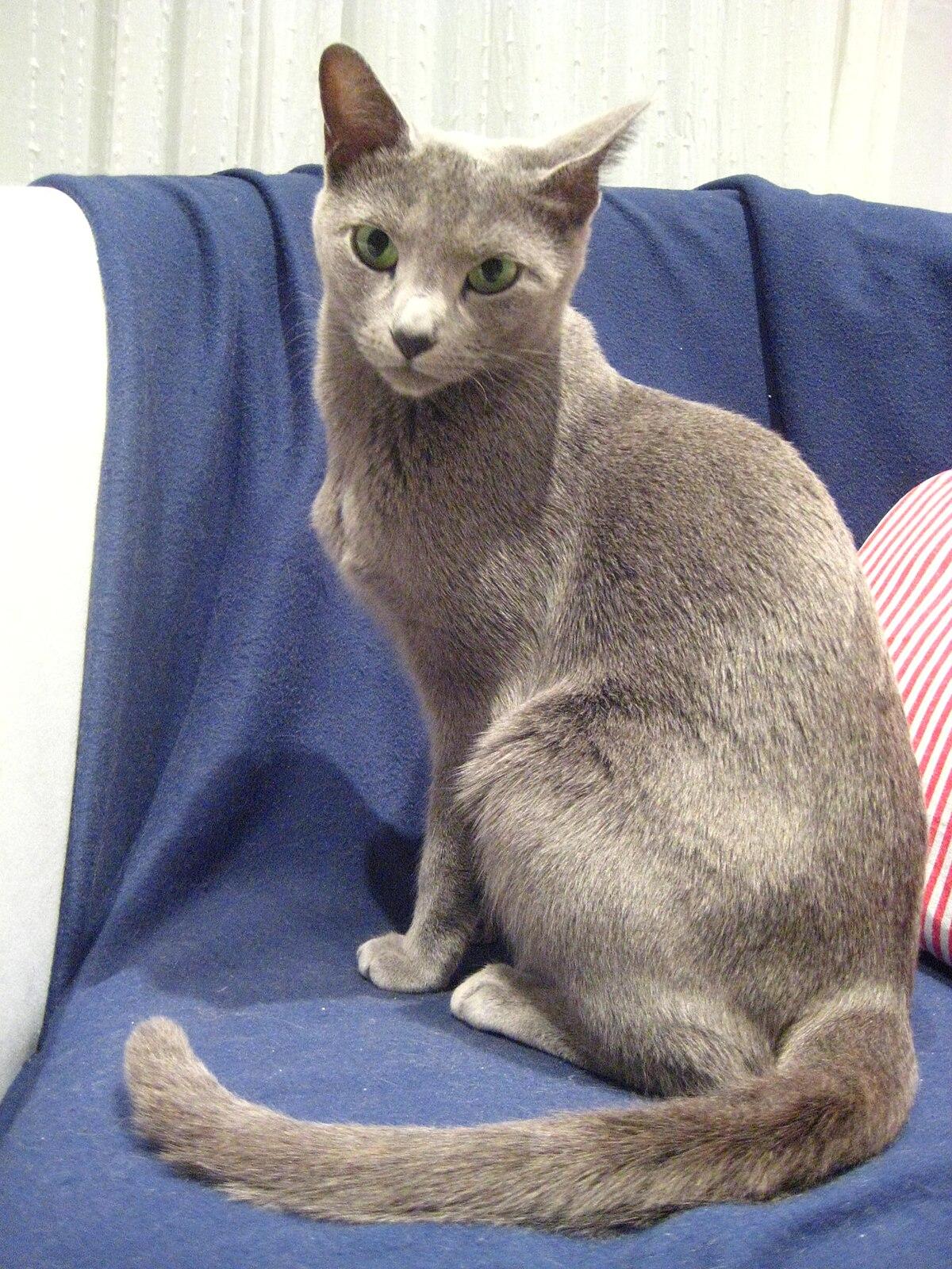 Rassian Blue Cat