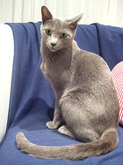 Cats Russian Blue Pictureshalf