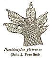 HemidactylusPlatyurusRooij.jpg
