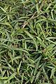 Hemidesmus indicus - Agri-Horticultural Society of India - Alipore - Kolkata 2013-01-05 2302.JPG