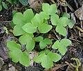 Hepatica nobilis kz1.jpg